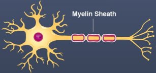 xmyelin_sheath.jpg.pagespeed.ic.oeFZ3NHsum